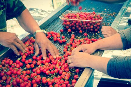 Hands packaging sweet cherries into plastic box or container on conveyor belt line at cherry orchard in Yakima Valley, Washington, America. Organic fresh sweet fruits from farm to market