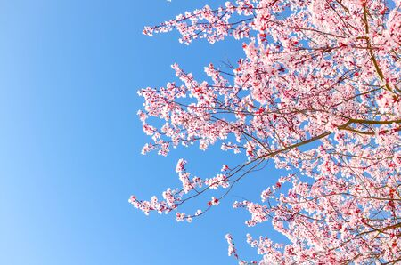 Looking up blossom cherry tree branches under clear blue sky in Seattle, Washington, America. Abundance blooming springtime pink Japanese sakura flower background