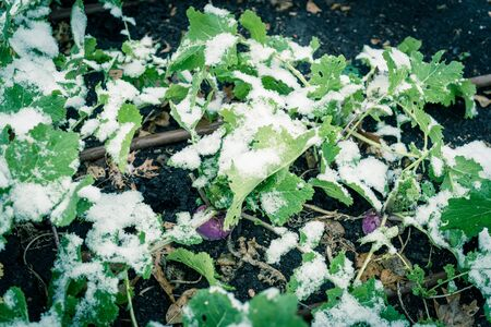 Toned photo rutabaga (or swede, neep, snagger) plant growing in raised bed garden under snow cover near Dallas, Texas, America. A dark purple stain root vegetable cross between cabbage and turnip