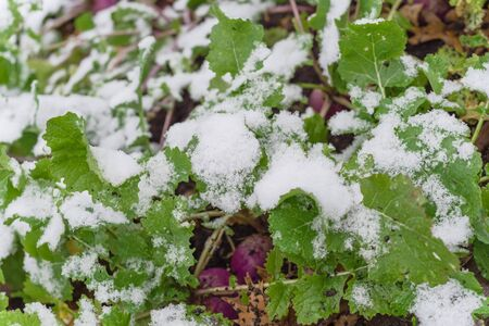 Selective focus on green leaves of rutabaga (or swede, neep, snagger) plant on raised bed garden under snow cover near Dallas, Texas, USA. A purple root vegetable cross cabbage and turnip