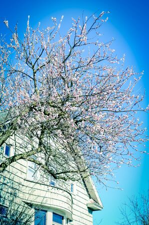 Large cherry tree in full blooming near residential house in Seattle, Washington, America. Blossom springtime Japanese sakura flower background, upward view to sunny clear blue sky