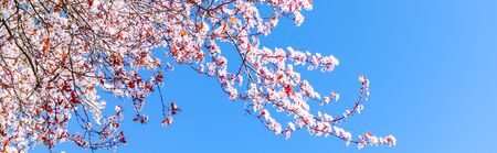 Panorama view looking up blossom cherry tree branches under clear blue sky in Seattle, Washington, America. Abundance blooming springtime pink Japanese sakura flower background
