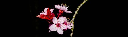 Panorama view cherry blossom isolated on black background. Fine art photo of blooming springtime flower on tree branches in nature setting with natural gentle light and backdrop. Banco de Imagens