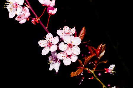 Cherry blossom isolated on black background. Fine art photo of blooming springtime flower on tree branches in nature setting with natural gentle light and backdrop. Banco de Imagens