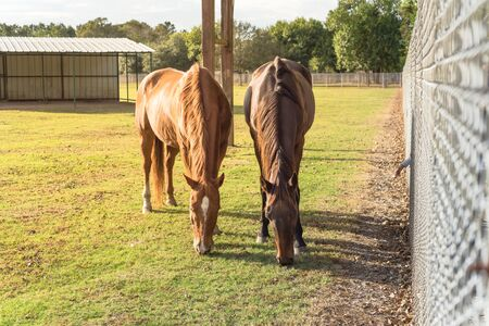 Kid hand thru metal fence try petting horses. Two brown horses grazing grass on a plain in the zoo. Healthy horses eating in grassland of public park at Houston, Texas, America Stock Photo