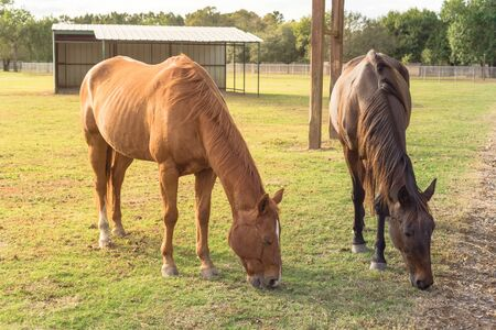 Brown horses eating grass on grass lawn plain. Two healthy horses grazing in grassland of public park at Houston, Texas, America.