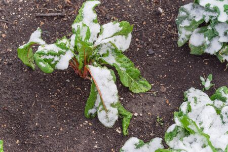 Top view young Swiss chard plant growing in raised bed garden in winter time with snow covered near Dallas, Texas, America. Green leafy vegetable cultivated in allotment, leafy beet Beta vulgaris