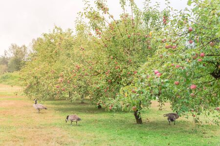Apple orchard with abundance of fruits and goose grazing underneath. Organic apples on tree branches and free range poultry for natural pest control at country farm in Washington, America.