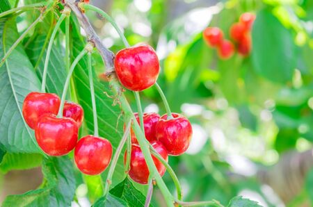 Shiny cluster of red cherries fruits with green foliage on a tree at orchard in Yakima Valley, Washington, USA. Cherry tree bearing abundance fruitful branches bent down under a weight of fruits