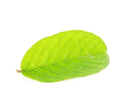 Green Guava or Apple Guava Psidium Guajava leaf isolated on white. Freshly picked from home growth organic garden in Vietnam. Guava is popular in tropical regions