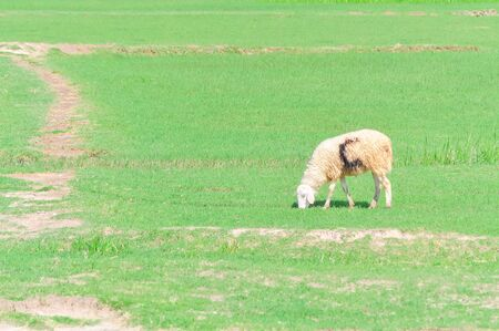 Sick looking sheep is grazing green grass in Phan Rang, South Central Coast Vietnam. Free range and pasture raised farm woolly animals