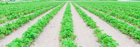 Panorama view endless strawberry field with blossom flowers in Puyallup, Washington, America. Row of healthy plants with green strawberry fruits on mound of well worked soil with no weeds