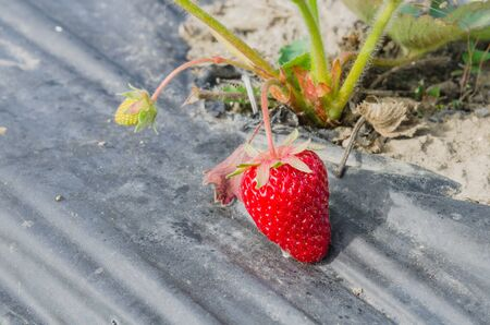 Ripen organic strawberries ready to harvest nestled black film at Puyallup, Washington, America. Fresh and healthy strawberry plants cultivated on plastic mulch for natural weed control, water saving