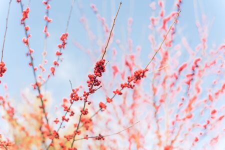 Branch of Ilex Decidua or winter berry, Possum Haw, Deciduous Holly red fruits on large shrub small tree, no leaves dormant. Blaze of color in the fall in Dallas, Texas. Crimson red winterberry