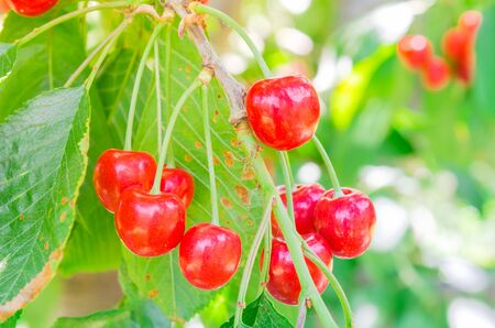 Cluster of red and sweet ripe cherries hanging on a branch with bokeh background. Glossy organic cherry on a fruitful tree ready for picking in Yakima Valley, Washington, USA.