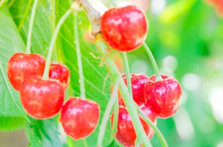 Shallow DOF on cluster of red cherries fruit with water drops hanging on tree branch at orchard in Yakima Valley, Washington, USA. Abundance fruitful tree branches bent down after raining