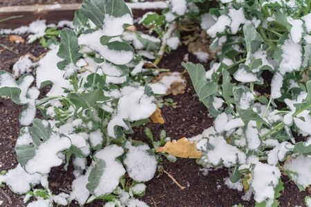 Kitchen garden raised bed with snow covered organic broccoli leaves near Dallas, Texas, America. Top view homegrown cool weather vegetable under severe winter time chill temperature.