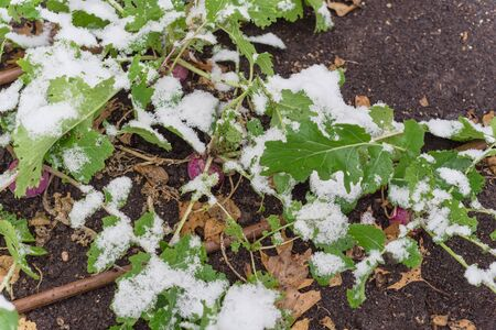 Top view raised bed garden with hose irrigation system and matured rutabaga plant under snow cover near Dallas, Texas, America. A purple root vegetable cross between cabbage and turnip