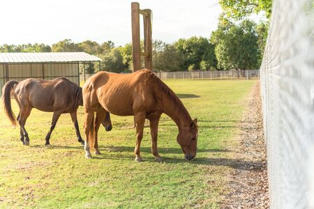 Two brown horses grazing grass on a plain in the zoo taken from camera pot on metal fence. Healthy horses eating in grassland of public park at Houston, Texas, America Stock Photo