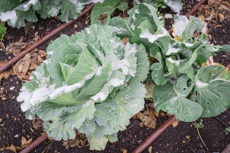 Cabbage heads covered in snow growing at winter garden with hose irrigation system near Dallas, Texas, America. Homegrown cool crop cultivated on healthy compost soil at allotment. Standard-Bild
