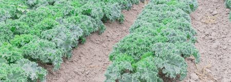 Panorama view kale farm in Washington, America. Row of dwarf green curled leaf cabbage growing on hill soil. Northwest farming and agriculture background. Archivio Fotografico
