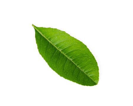 Single Asian lime leaf isolated on white background. Freshly picked from home growth organic garden, green young leaves