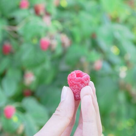Fresh picked raspberry without stem on hand close up view. Organic grown raspberries in Washington, USA with blurry abundance red fruits and green leaves bokeh background 版權商用圖片