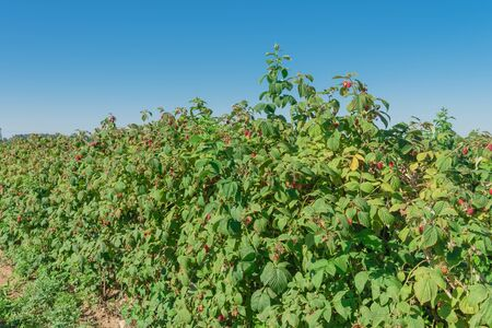 Vigorous bush of raspberries with full of ripe red fruits and clear blue sky background. Summer fruits at berry farm in Washington State, America.
