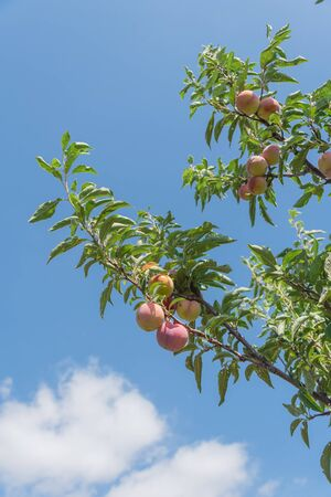 Look up view of peach branch with load of ripe fruits under cloud blue sky. Ripe peaches ready to harvest at organic farm orchard in Waxahachie, Texas, America, summer fruit background