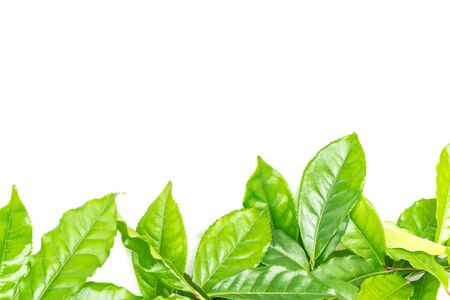 Full view bunch of green tea leaves isolated on white background. Freshly picked from home growth organic tea plantation. Nature food frame with green leaves, copy space Stock Photo