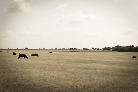 Black and brow cows grazing grass under cloud blue sky at ranch in Waxahachie, Texas, America. Pasture raised cattle on prairie farm background 版權商用圖片 - 143250896