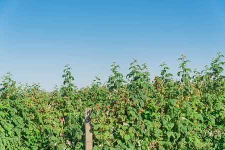 Vigorous bush of raspberries with full of ripe red fruits and clear blue sky background. Summer fruits at berry farm in Washington State, America. Archivio Fotografico