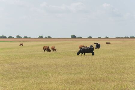 Black and brow cows grazing grass under cloud blue sky at ranch in Waxahachie, Texas, America. Pasture raised cattle on prairie farm background