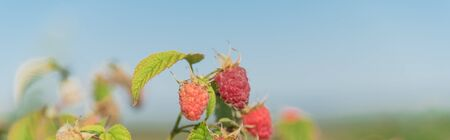 Panorama view vigorous bush of raspberries with full of ripe red fruits and clear blue sky background. Summer fruits at berry farm in Washington State, America.