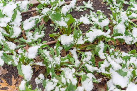 Yellow chard (Swiss) growing in raised bed garden in winter time with snow covered near Dallas, Texas, America. Green leafy vegetable cultivated in allotment patch, leafy spinach beet Beta vulgaris subsp Standard-Bild