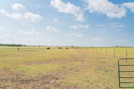 Huge ranch with gate, wire fence and group of cattle grazing grass on prairie in Waxahachie, TX, USA