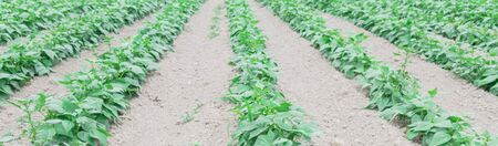 Panorama low angle view bush bean farm in Kent, Washington, America. Row hills of legumes ready to harvest leading to horizontal lines.