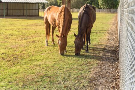 Brown horses grazing grass near metal fence at public park in Houston, Texas