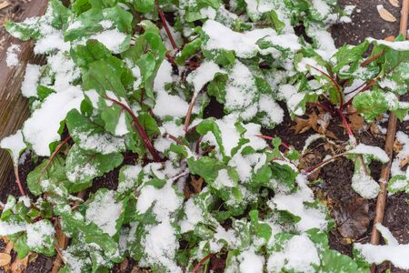 Red stems Swiss chard growing in raised bed with irrigation system under snow covered near Dallas, Texas, America. Green leafy vegetable cultivated in allotment patch, leafy beet Beta vulgaris Standard-Bild