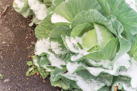 Cabbage head covered in snow at winter garden near Dallas, Texas, America