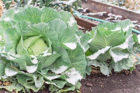 Raised bed garden with cabbage heads in snow cover at wintertime near Dallas, Texas, America