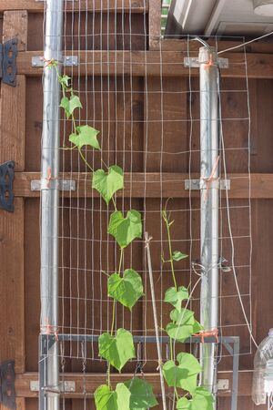 Healthy chayote (or mirliton squash) vines growing on wooden fence with trellis and post in USA Banque d'images