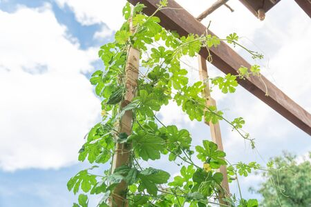 Bitter melon plant growing on vertical trellis with wooden post and jute string ties at backyard garden