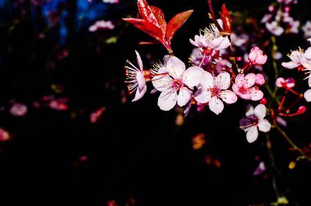 Cherry blossom isolated on natural black background fine art photo