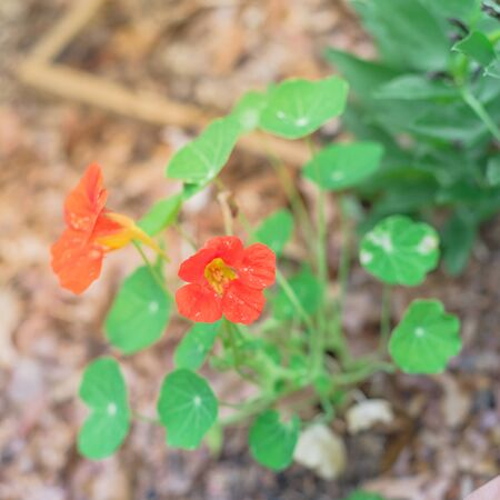 Blossom red-orange nasturtium or nasturtian flowers near broad bean plant on garden bed near Dallas, Texas
