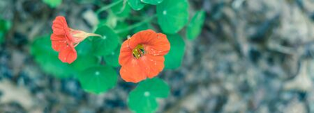 Panoramic blooming red-orange nasturtium or nasturtian flowers on garden bed near Dallas, Texas, USA Stock fotó