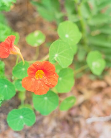 Blooming red-orange nasturtium or nasturtian flowers on garden bed near Dallas, Texas, USA Stock fotó