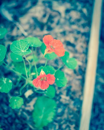 Filtered image blooming red-orange nasturtium or nasturtian flowers on garden bed near Dallas, Texas