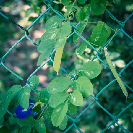 Butterfly pea or clitoria ternatea with blooming blue flower and pods growing on chain link fence in Singapore Stock fotó
