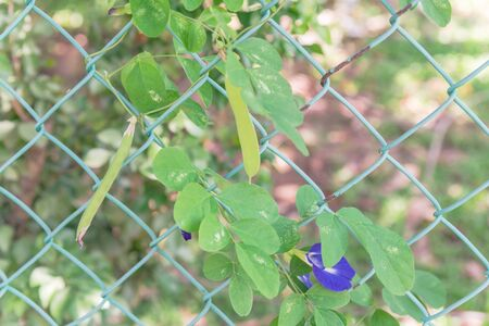 Butterfly pea or clitoria ternatea with blooming blue flower and pods growing on chain link fence